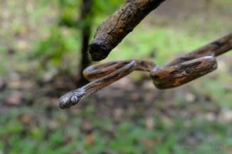 boiga-angulata-philippine-blunt-headed-tree-snake-1