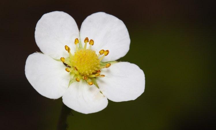 10 bonnes raisons de renoncer à vous battre : fleur de fraisier en gros plan