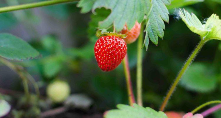 Plan de fraise avec une belle fraise rouge.