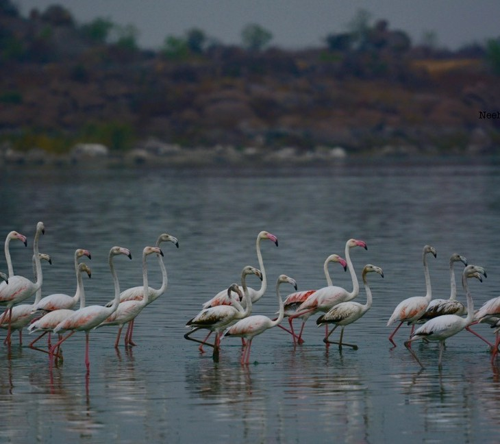 Flamingoes_Ameenpur Lake_Hyderabad
