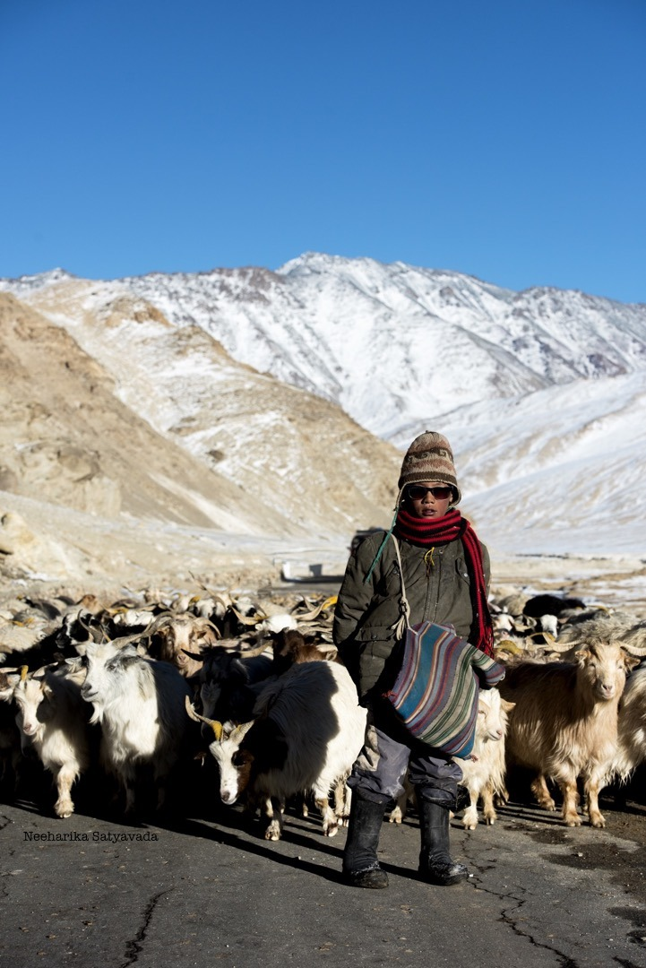 Changpa with Pashmina Goats in Ladakh_cashmere for Pashmina Shawl