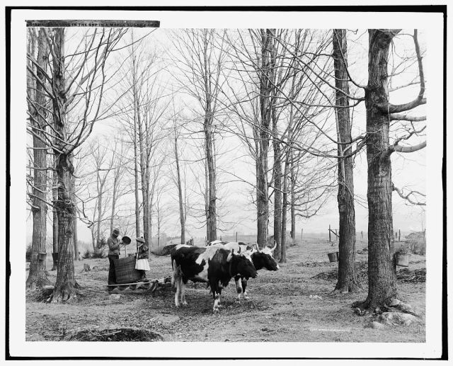"""""""Bringing in the sap in a maple sugar camp""""; Detroit Publishing Co.; between 1900 and 1906; courtesy of Library of Congress"""