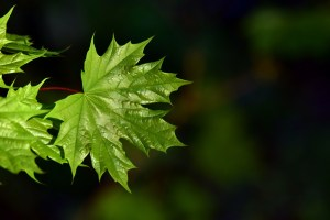 leaf, plant, nature