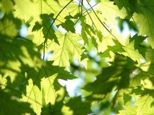 leaves, maple, tree