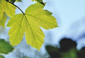 maple leaf, maple, maple tree