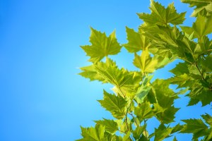 maple leaves, blue sky, summer
