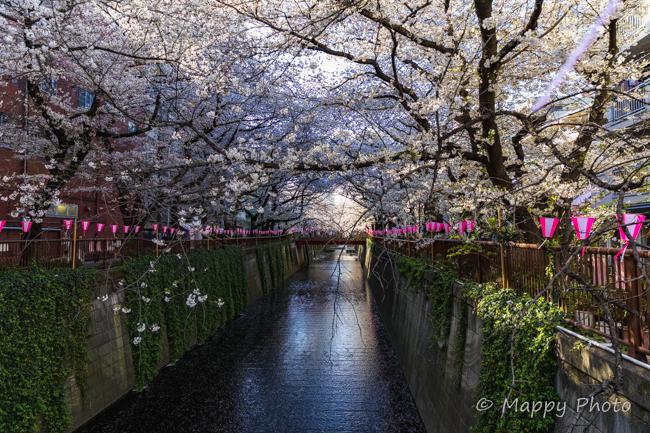 桜 花 目黒川