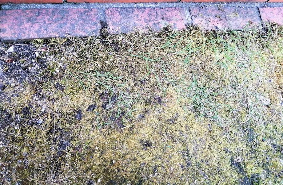 写真のようにわずかに残っていた芝生以外のコケは枯れてきました↓