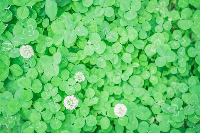 芝生に生えるクローバー駆除法【厄介な雑草も20年の経験談で解決】
