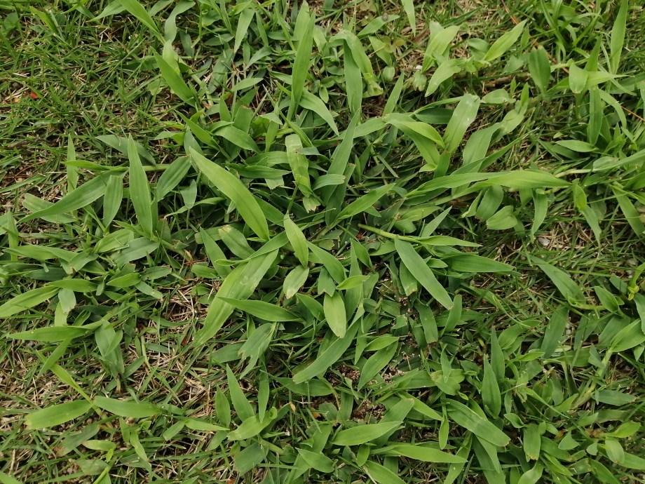 芝生にはびこるメヒシバは最強で実に厄介です【駆除方法】