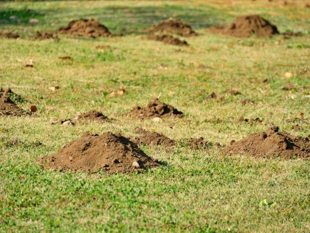 芝生のモグラ駆除法【もう荒らされないぞ】