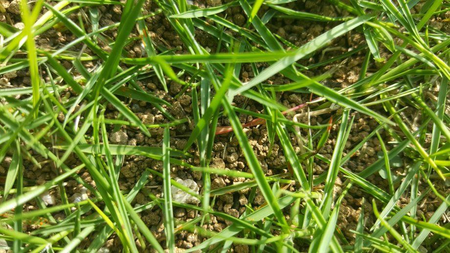 芝生の水切れサイン