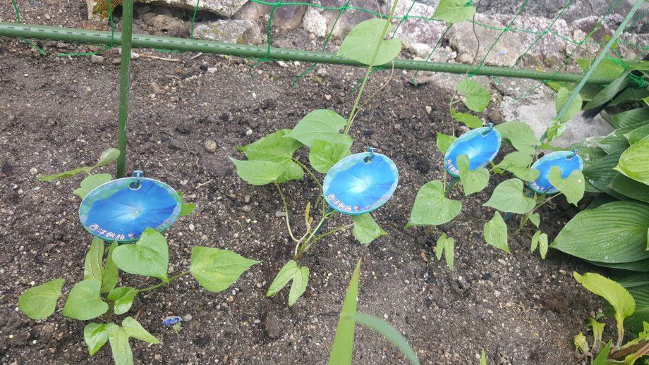 グリーンカーテン失敗しない植物の選び方