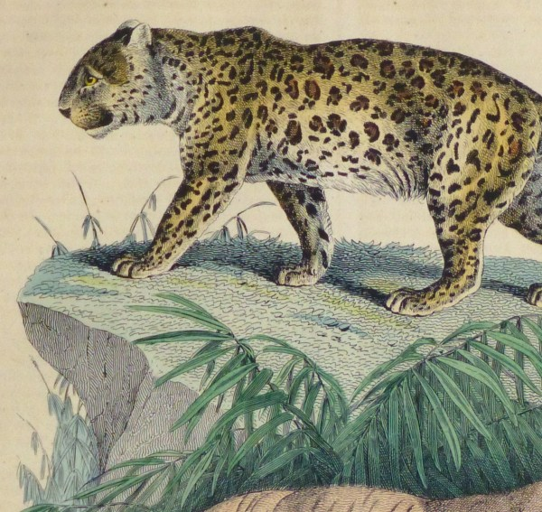 Leopard & Tiger Engraving 1853
