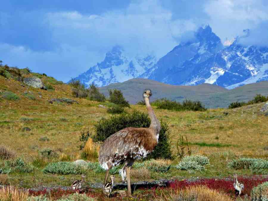 Rheas-Patagonia-road-trip-best-road-trips-in-central-and-south-america