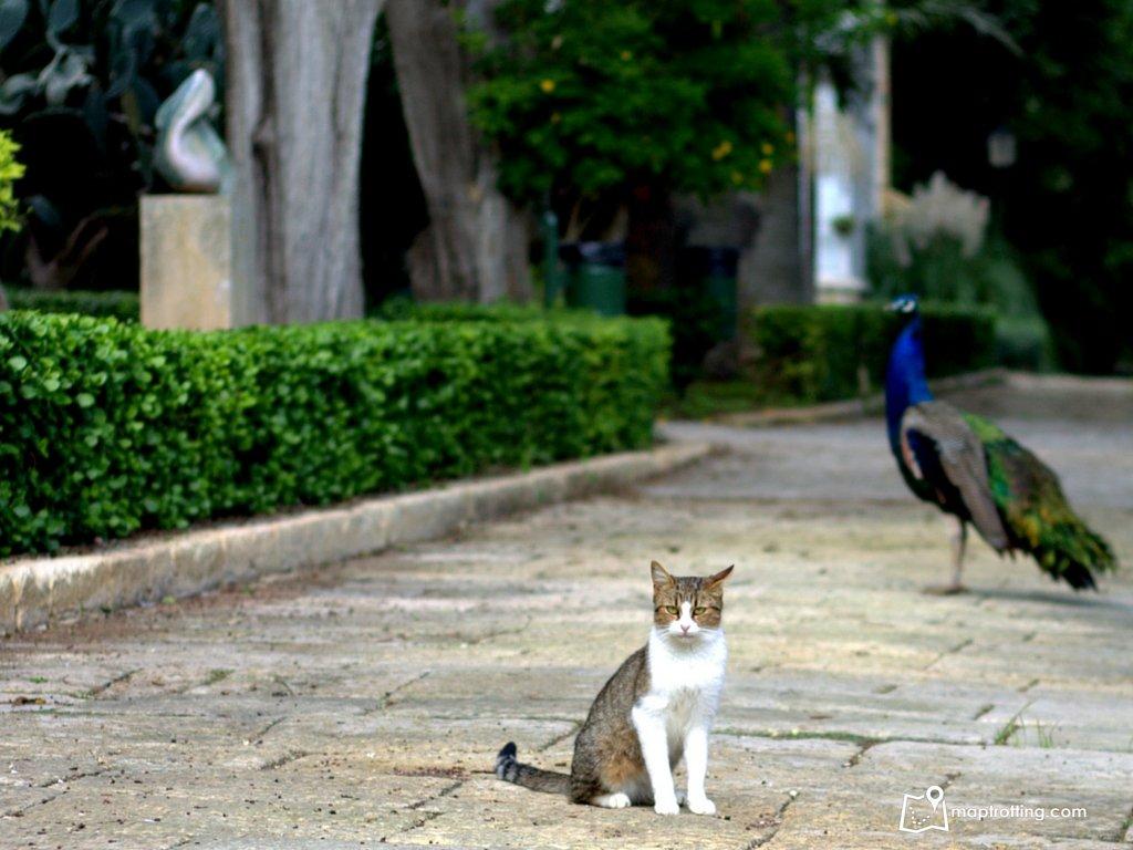 Cat and peacock in San Antonio garden_Malta