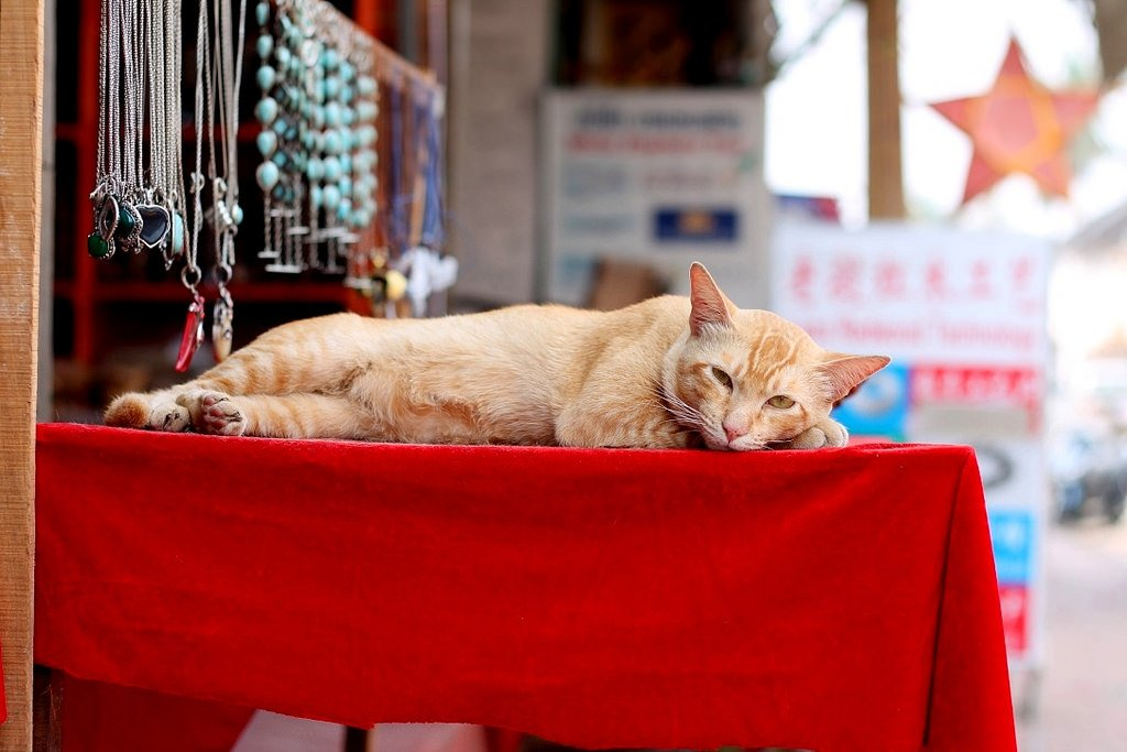 Posing cat in Luang Prabang, Laos