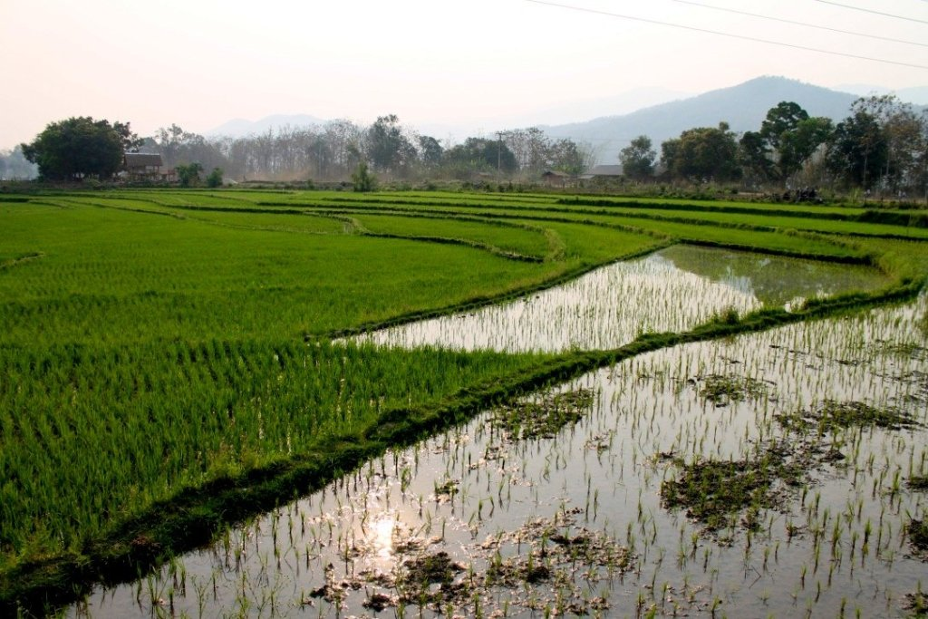 Rice fields near Kuang Si Waterfall