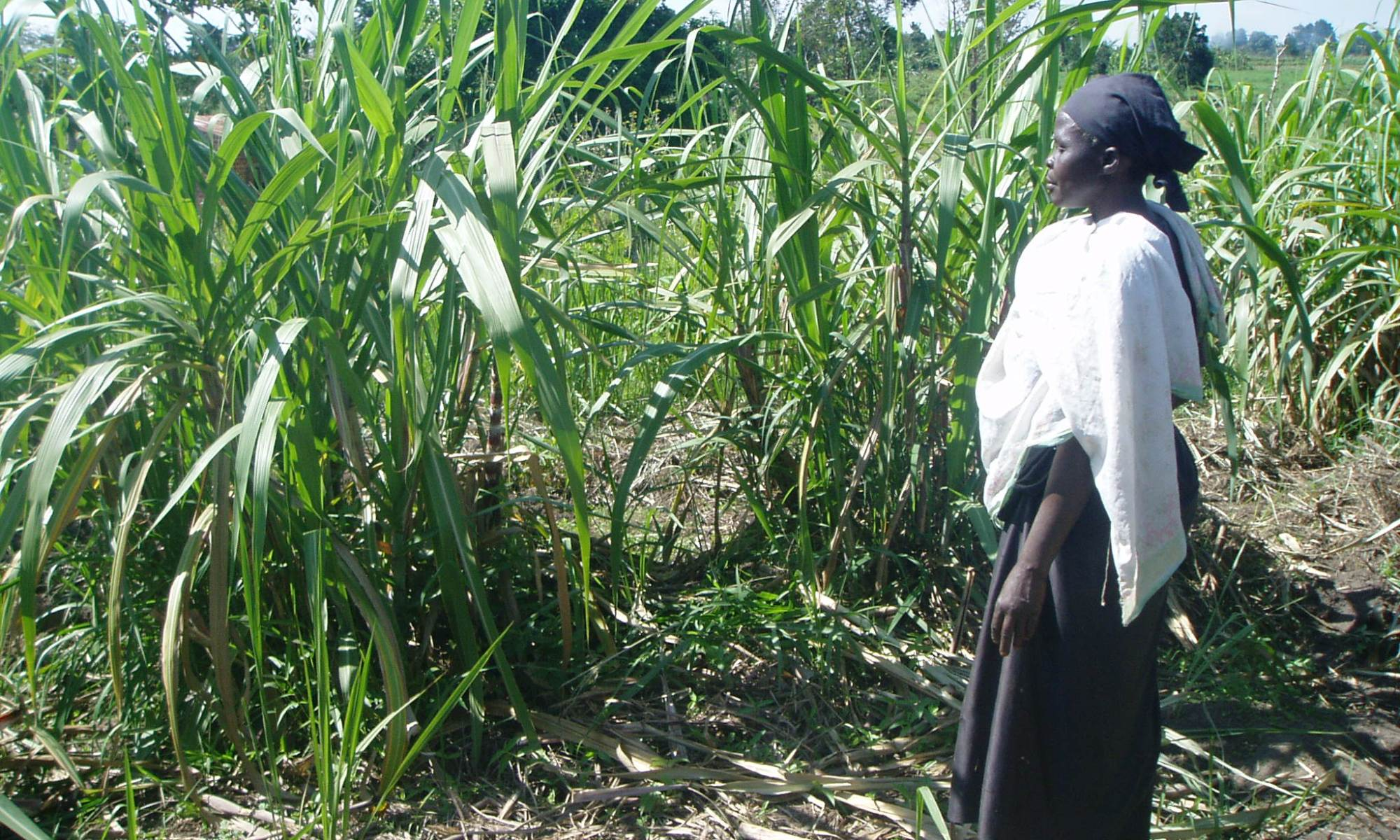 Old Ugandan woman standing in her cane sugar field