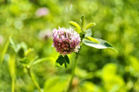 Clover and no bee