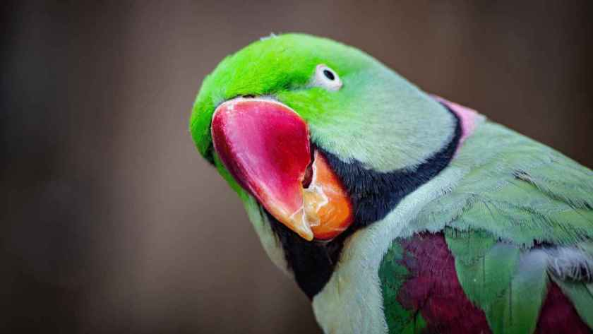 पोपट पक्षी माहिती मराठी, Parrot Information in Marathi