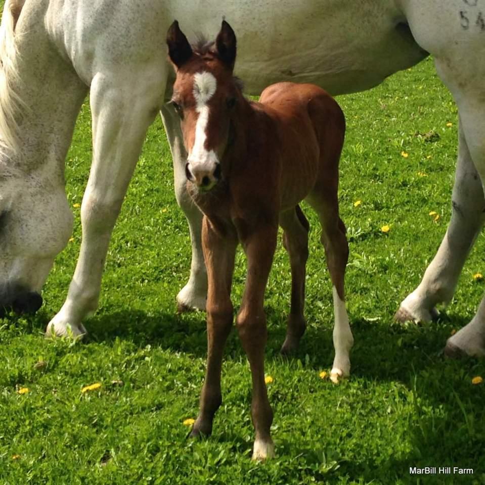 MarBill Hill Farm - Wembley Foal and Turtle - Headshot