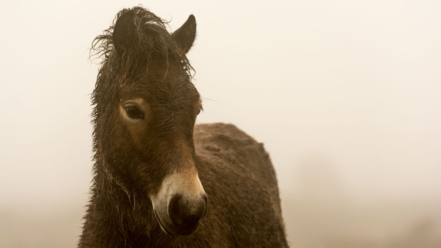 Exmoor Pony im Nebel