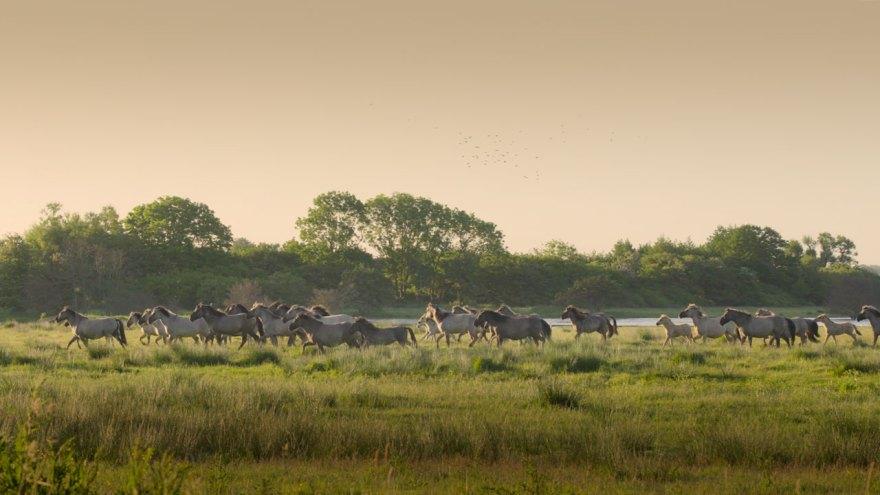 Schließen sich mehrere Herden zusammen, herrscht eine klare Rangordnung. Auf diesem Bild sind drei Herden zu erkennen.