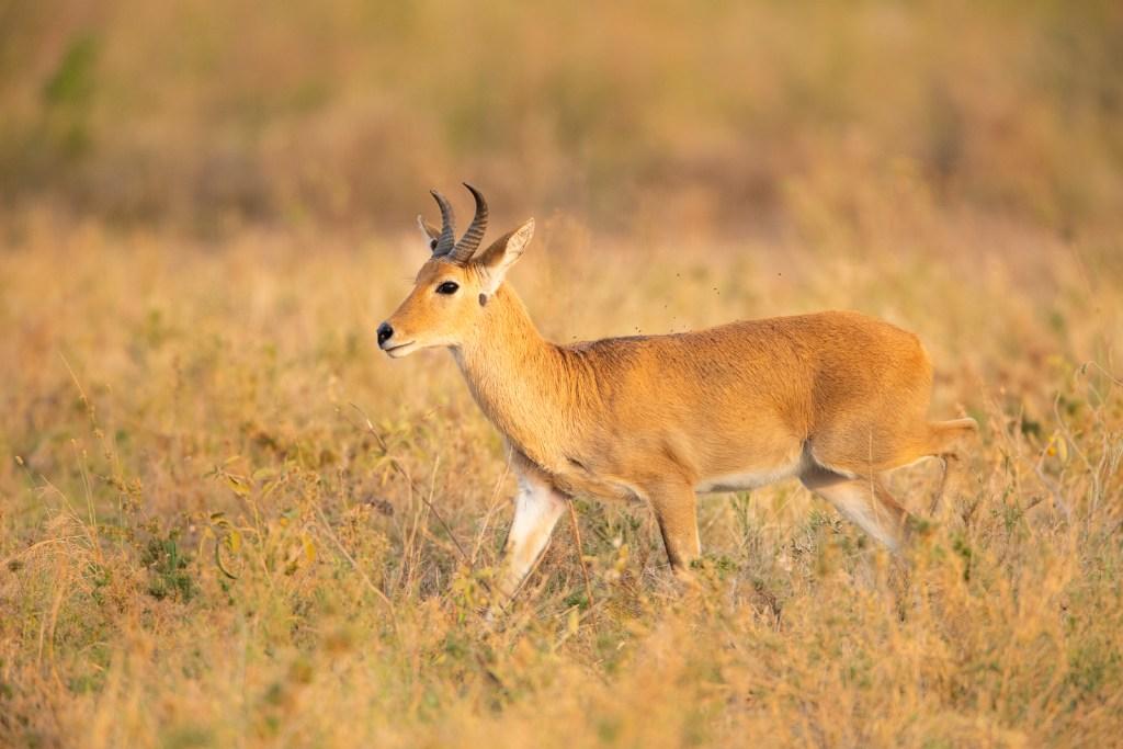 Reedbuck fotografiado en un safari fotográfico en Tanzania con Marc Albiac.