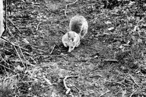 Squirrel_face_on_29_March_2013