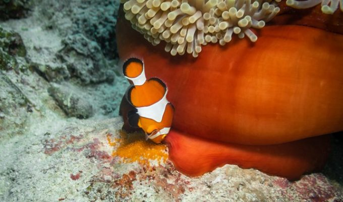 Clownfish laying eggs