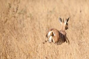 Bounding dwarf impala.
