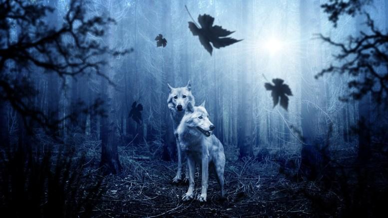 loup noir et loup blanc