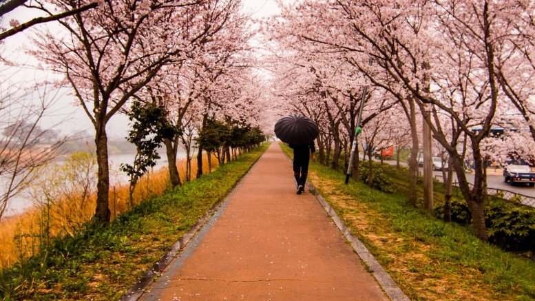 escargot petit-gris grimpe au cerisier