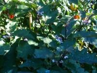 L'orto di Luglio: cura dei pomodori, semine, trapianti e raccolta
