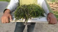 Appassionati ricercatori di Asparagi selvatici, come raccoglierli.