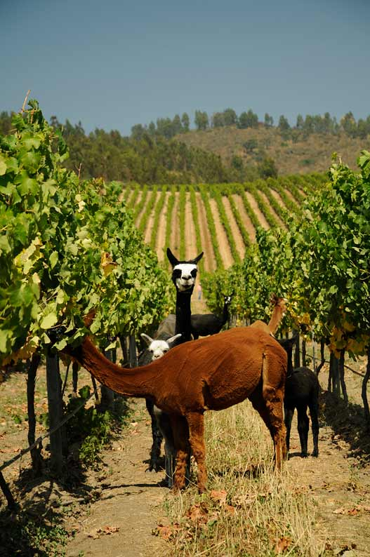 alpacas-en-vinedo-matetic-chile