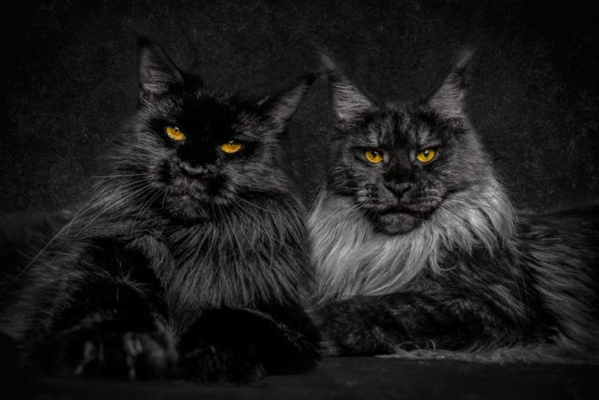 gatos-maine-coon-005