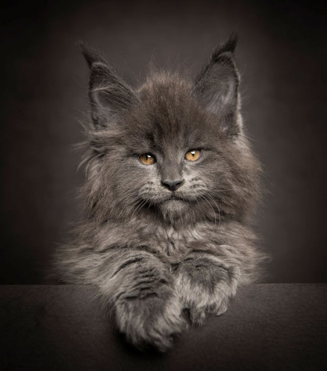 gatos-maine-coon-006