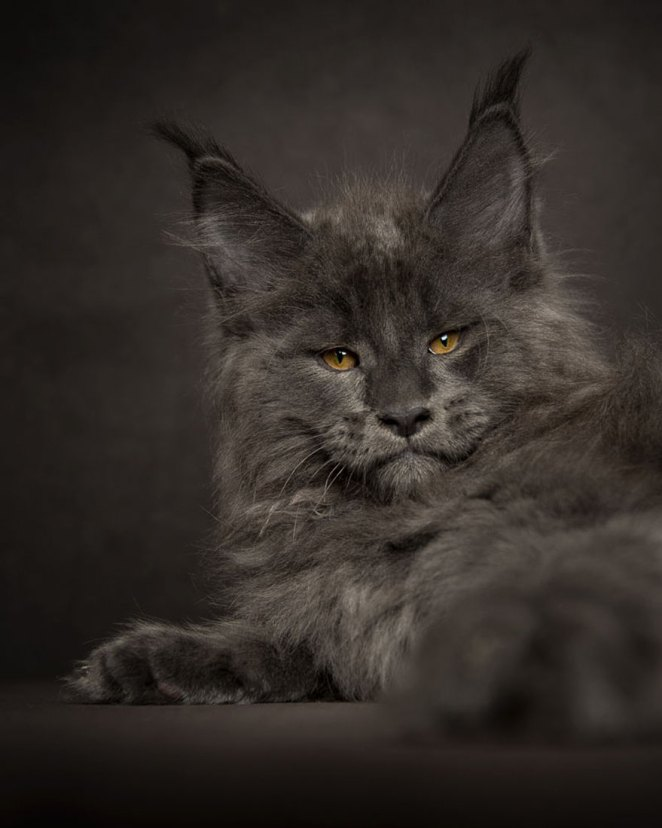 gatos-maine-coon-011