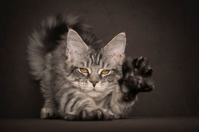 gatos-maine-coon-014