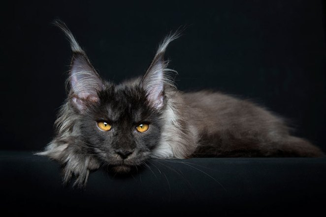 gatos-maine-coon-017