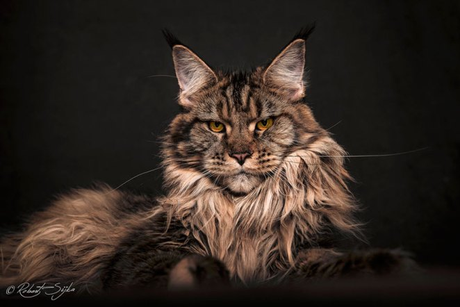 gatos-maine-coon-027