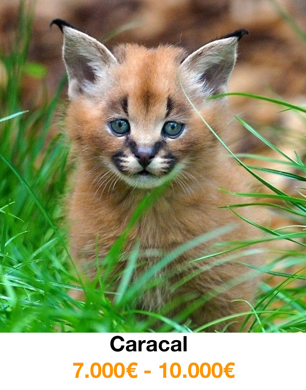 gatos-mas-caros-caracal
