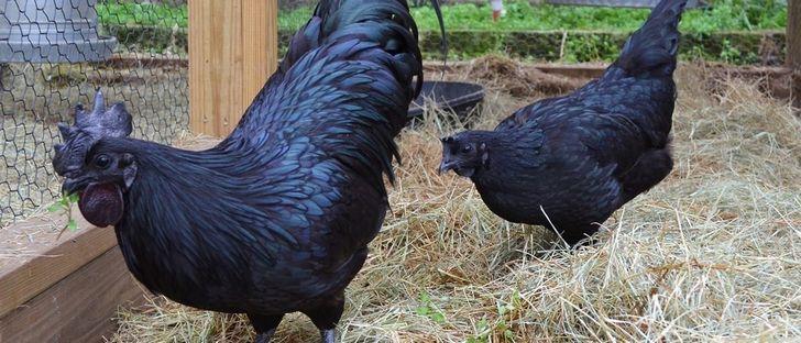 Ayam Cemani pollo negro (2)
