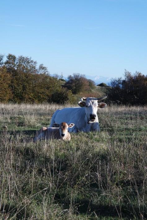 Il Foliage di Canfaito. Pascolano tranquilli e si mettono quasi in posa i capi di bestiame immersi nella quiete della montagna.