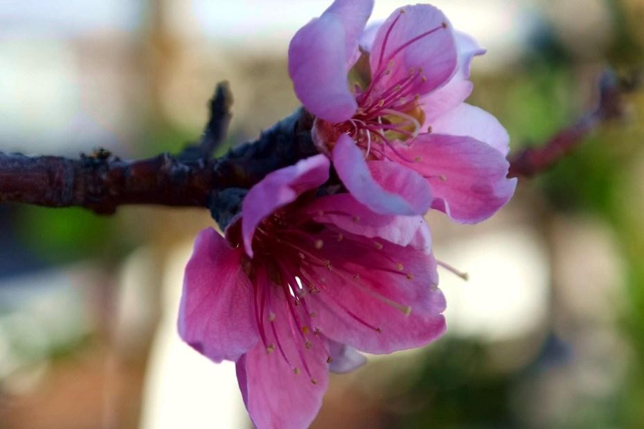 Felicità. Fiori rosa fiori di pesco in terrazzo