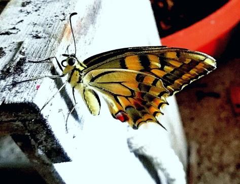 Sogno Coraggio. Questa farfalla l'altro giorno ha spiccato il volo dal terrazzo, ha trovato il coraggio di volare.