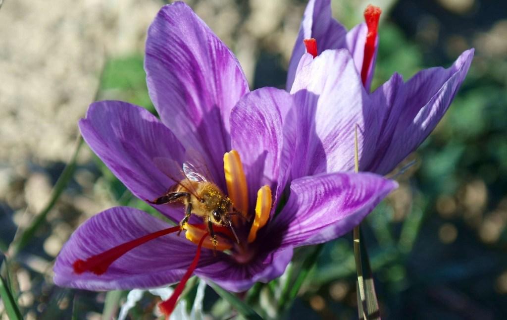 Piccolo viaggio tra arte e zafferano: un ape che mi guarda mentre fa il suo lavoro.