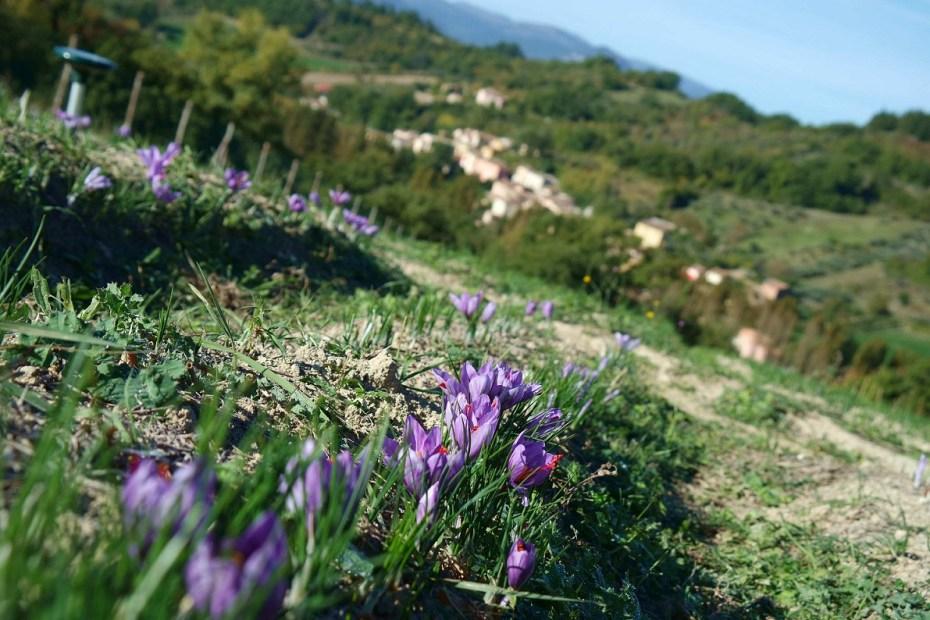 Piccolo viaggio tra arte e zafferano. Il campo di zafferano in fioritura che guarda al paesino di Braccano.